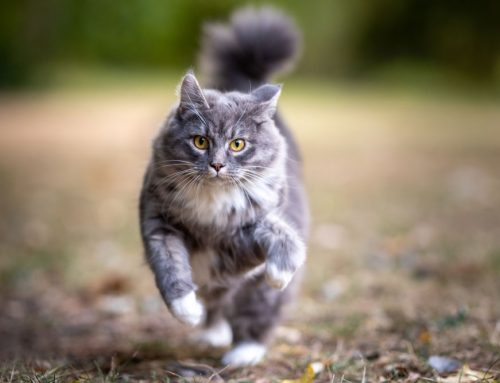 Cat Exercise: Keeping Your Kitty in Good Shape
